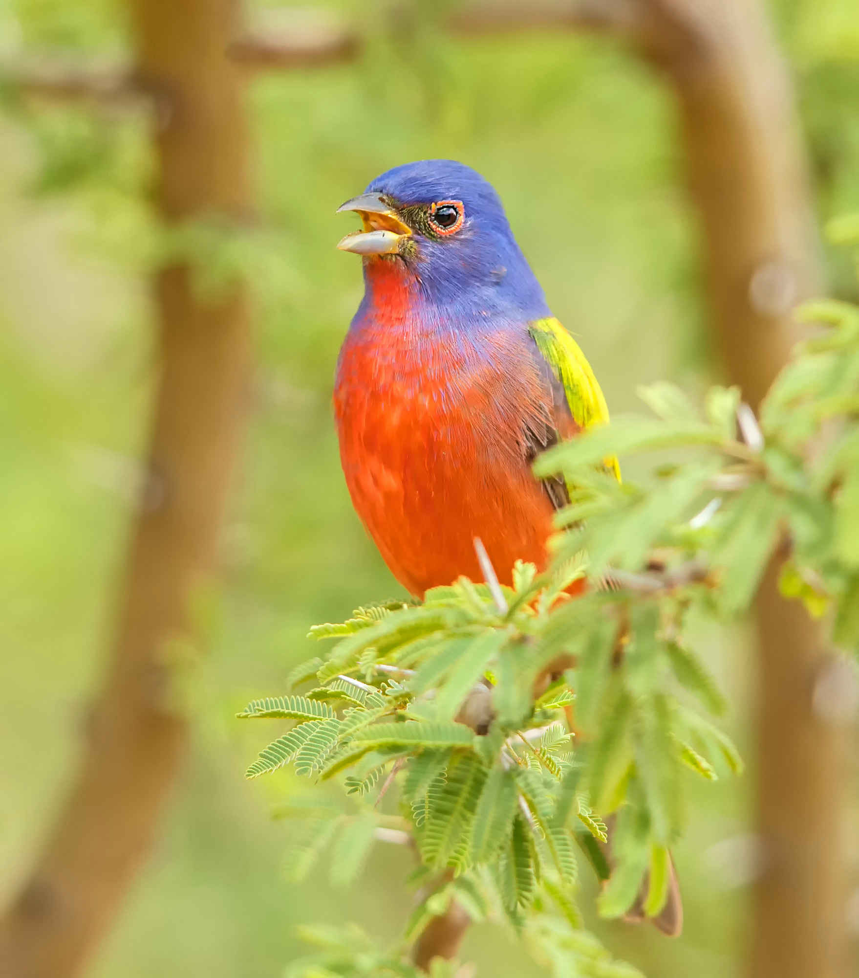 0-Painted Bunting_Y5Q6717
