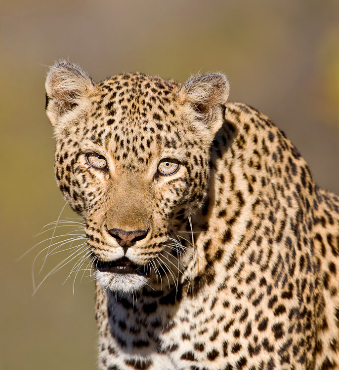 10-0U4R4896Leopardportrait