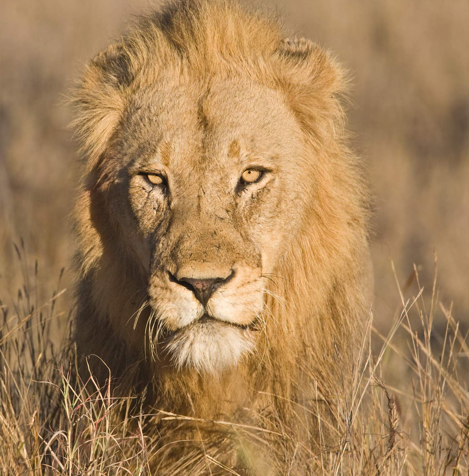 11-0U4R4964Lion-Portrait