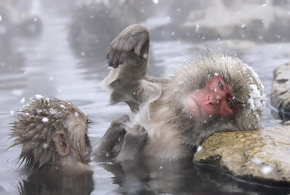 2-6 Snow Monkey being preened