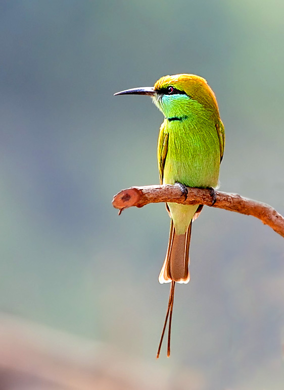 20-Bee Eater562