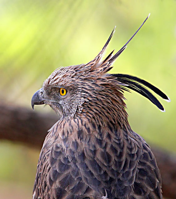 21-Crested Hawk-Eagle 562