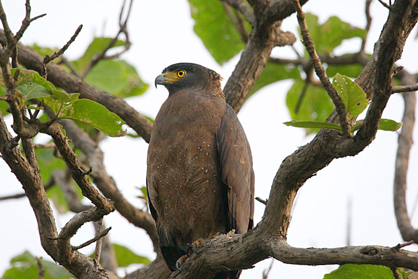 22-Crested Serpent Eagle