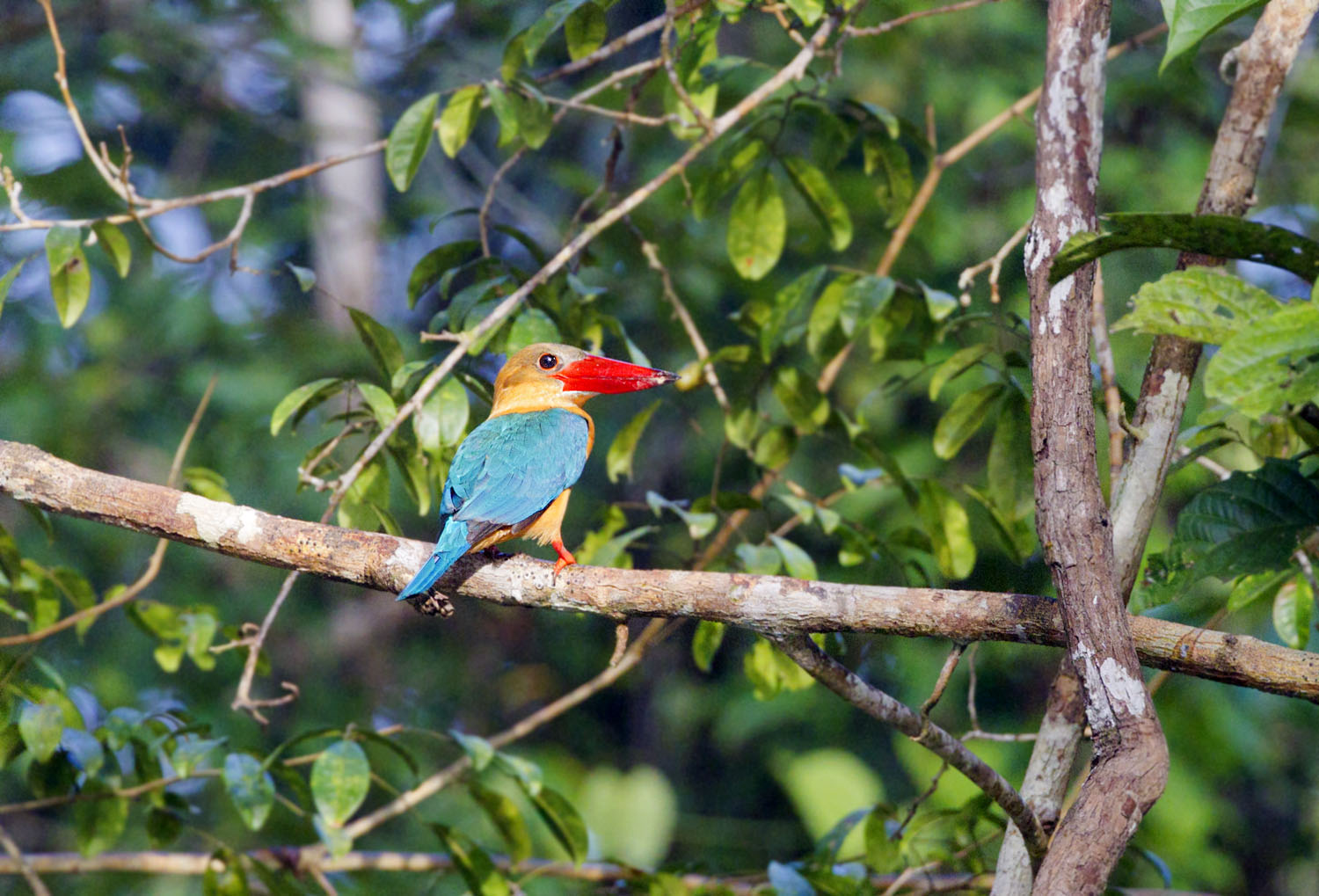 23-Stork-billed Kingfisher_F0D2205