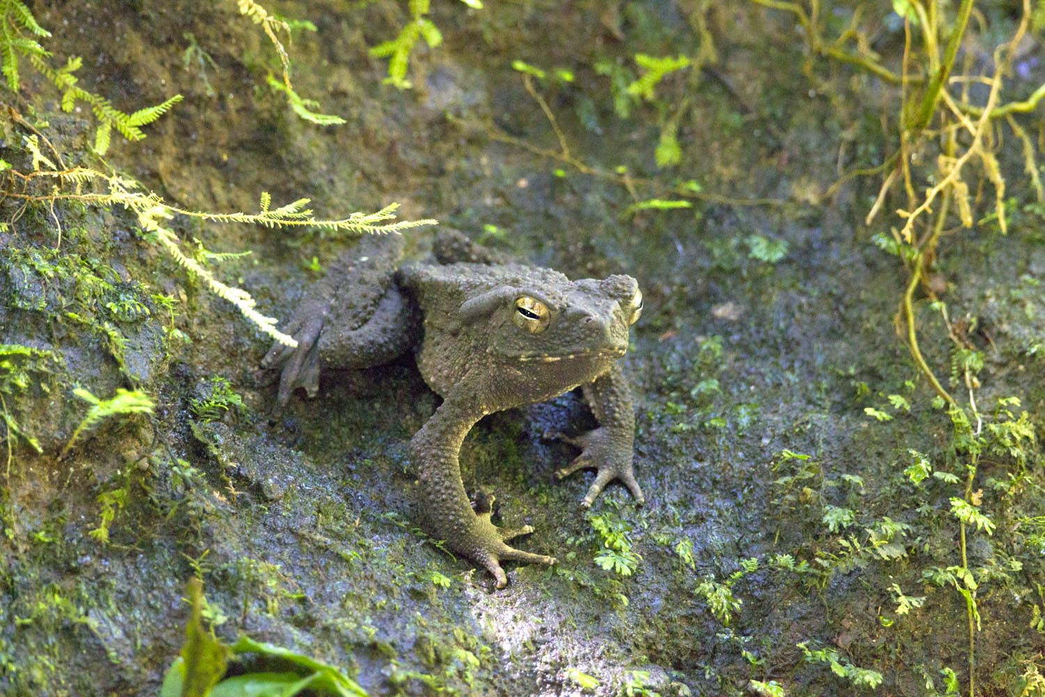 24-Giant River Toad_F0D3889