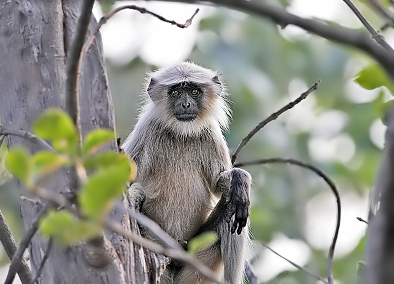 25-Langur in Tree