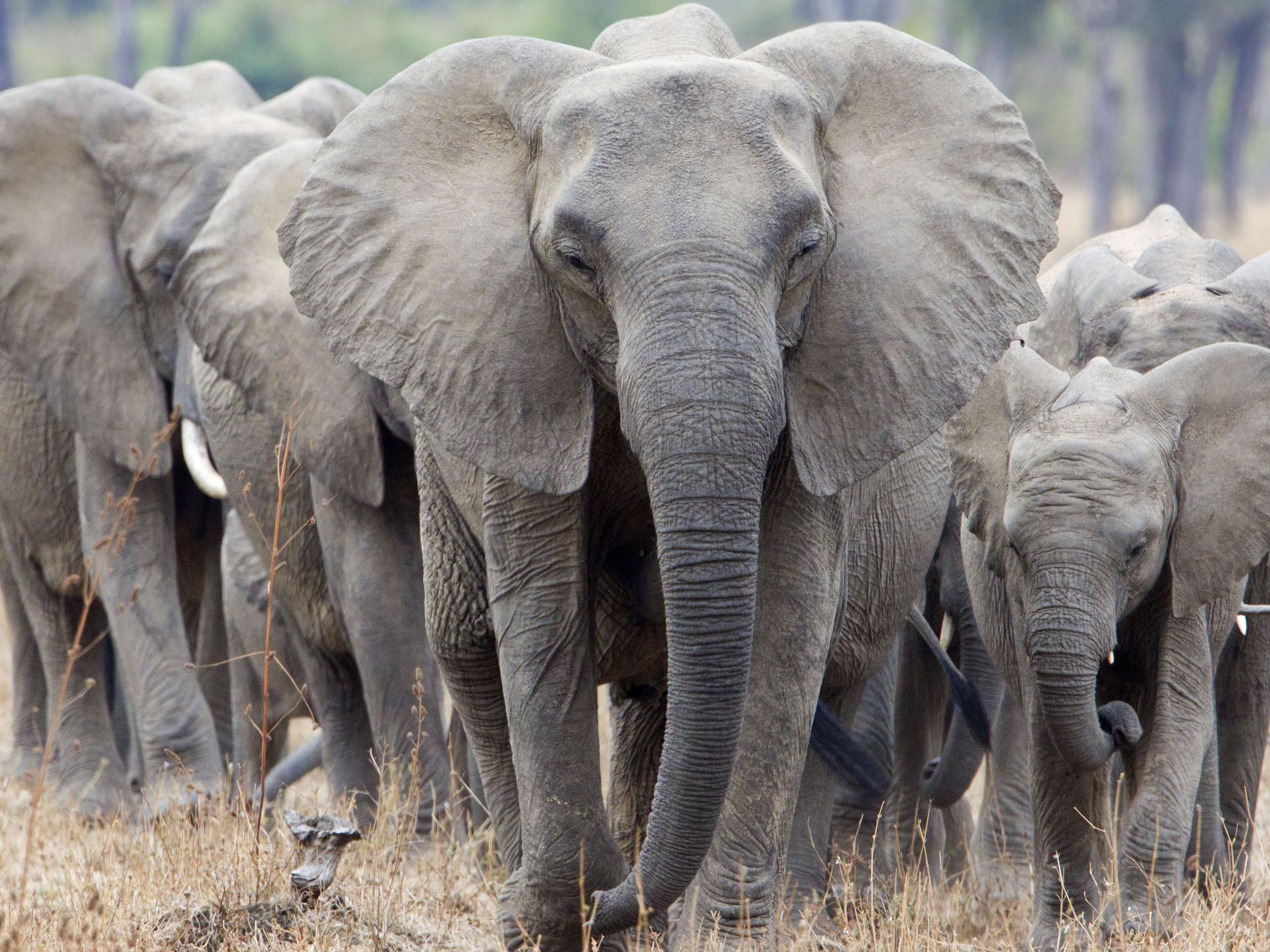 3-8 Elephants Marching