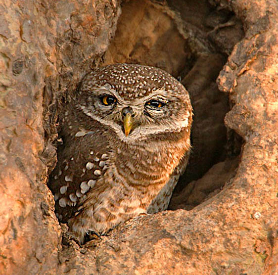 30-Spotted Owlet562