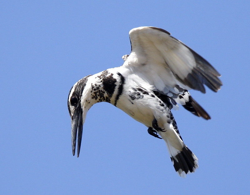 33-Pied Kingfisher 1