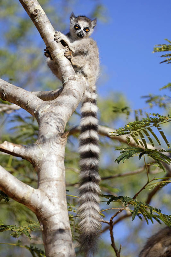 7-Ring-tail-in-Tree