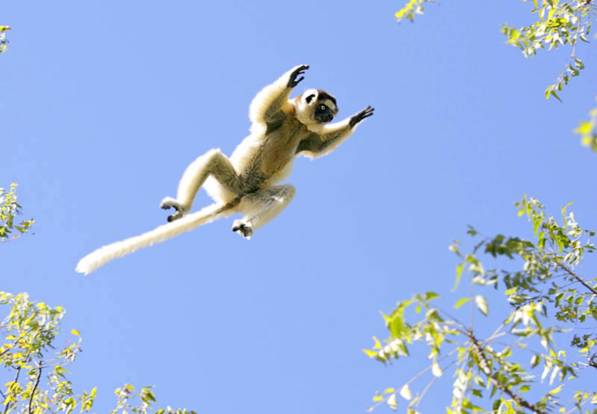 8-Flying-Sifaka